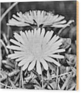 Dandelion Up Close And Personal Black And White Wood Print