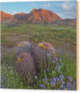 Desert Bluebell In Spring With Barrel Wood Print