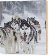 Dog-sledding With Huskies Wood Print