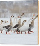 Domestic Geese Outdoor In Winter Wood Print