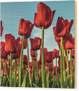 Dutch Red Tulip Field. Wood Print