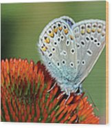 Echinacea And Common Blue Butterfly Wood Print