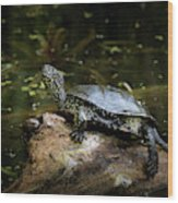 European Pond Turtle Sitting On A Trunk In A Pond Wood Print
