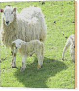 Ewe With Lambs Wood Print