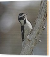 Female Downy Woodpecker Wood Print