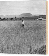 Field Of Wheat Campbell S Plains  Darling Downs Wood Print