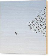 Flock Of Sturnus Vulgaris Flying Wood Print
