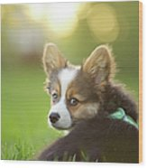 Fluffy Corgi Puppy Looks Back Wood Print