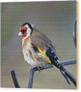 Fluffy Goldfinch Wood Print