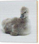 Fluffy Grey Cygnet Cygnus Olor Wood Print