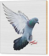 Flying Pigeon Bird In Action Isolated Wood Print
