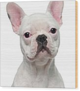 French Bulldog Puppy 5 Months Old Wood Print