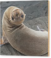 Fur Seal Otariidae Looking Back Upside Wood Print