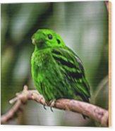Green Broadbill Wood Print