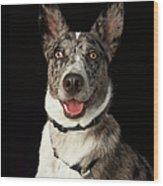 Grey And White Australian Shepherd With Wood Print