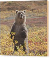 Grizzly Bear Standing Amid Autumn Wood Print