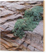 Growing From The Rock Terrain In Zion  Wood Print