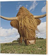 Hairy, Horned, Highland Cow Grazing Wood Print