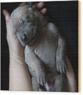 Hands Holding A Sleeping Puppy Wood Print