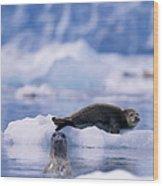 Harbor Seal Phoca Vitulina In Glacial Wood Print