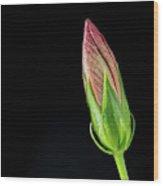 Hibiscus Bud In Morning Light Wood Print