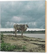 Holy Cow By Ganges River Wood Print