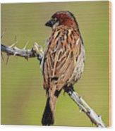 House Sparrow V1818 Wood Print