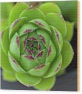 Housleek Close Up Wood Print