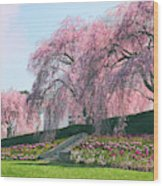 Weeping Spring Cherry  Wood Print