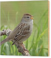 immature White-crowned Sparrow Wood Print