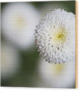 Isolated White Flower Bud Wood Print