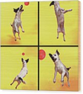 Jack Russell Jumping For Ball Wood Print