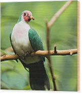 Jambu Fruit Dove Ptilinopus Jambu Wood Print