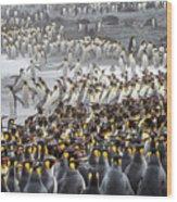 King Penguin Rookery At Salisbury Wood Print