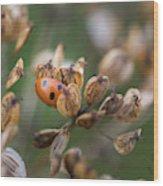 Lady Bird / Lady Bug In Flower Seed Head Wood Print