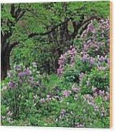 Lilac At Arnold Arboretum Wood Print