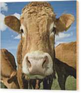 Limousin Bull Wood Print