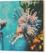 Lion Fish Hunting Among Coral Reefs Wood Print