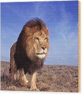 Lion Panthera Leo Wood Print