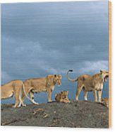 Lionesses And Cubs Panthera Leo On Wood Print