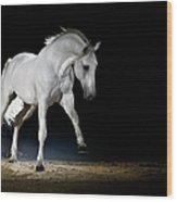 Lipizzaner Horse Playing Wood Print