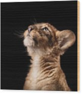 Little Lion Cub In Studio On Black Wood Print