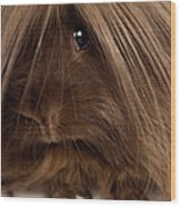 Long Haired Guinea Pig, Close-up Wood Print