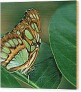 Malachite Butterfly, Siproeta Stelenes Wood Print