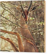 Male Gerenuk Wood Print
