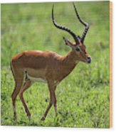 Male Impala Crossing Grassland With Tongue Out Wood Print