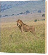 Male Lion In The Savanna Masai Mara Wood Print