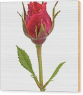 Miniature Pink Rose Bud With Water Wood Print