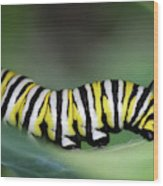 Monarch Caterpillar Macro Wood Print