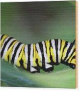 Monarch Caterpillar Macro Number 2 Wood Print